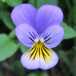 Here Come the Pansies!